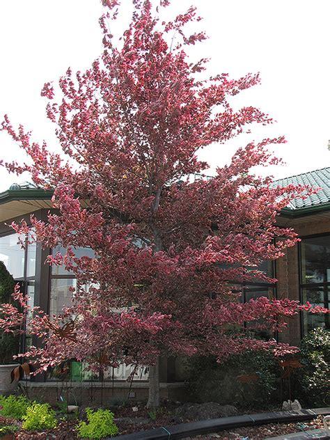 tricolor beech fagus sylvatica roseomarginata