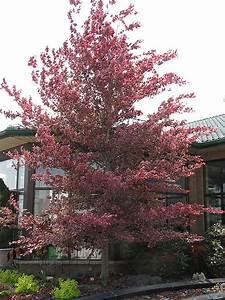 tricolor beech fagus sylvatica 39 roseomarginata 39 in