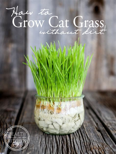How to Grow Cat Grass {without dirt}   Health Starts in the Kitchen