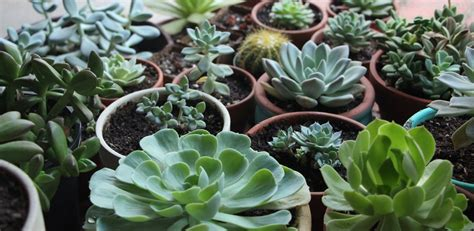 how do succulents grow how to grow succulents in artificial light needles leaves