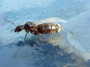 Ameisen Mit Flügel : ameisen k nigin wirft fl gel ab von amaryll galerie heise foto ~ Buech-reservation.com Haus und Dekorationen