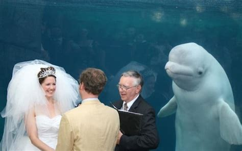 beluga whale upstages bride  wedding day  sparks