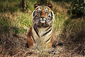 Only 3,200 Tigers Remain in the Wild; This Map Shows Where ...