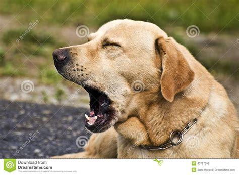 Cute Dog Yawning Stock Photo - Image: 43797396