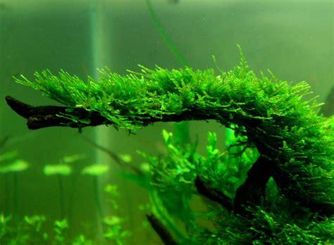 moos für aquarium moss caresheet aquatic mag