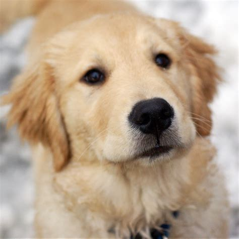 Cute Golden Retriever Puppies Wallpaper Wallpapersafari