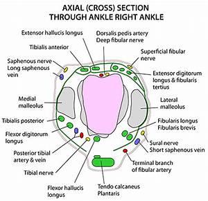Instant Anatomy - Lower Limb - Areas  Organs