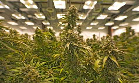growing weed with fluorescent lights 10 best fluorescent lights for growing weed green rush daily
