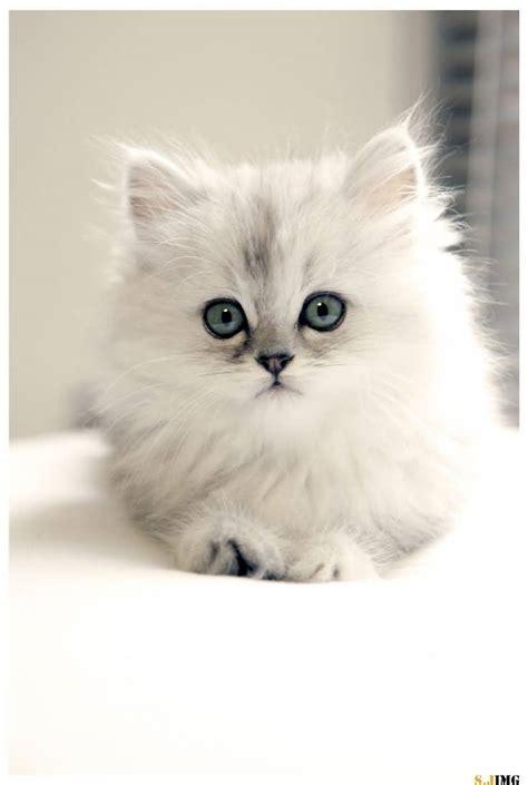 50+ Adorable Persian Cat Photos And Images Golfiancom