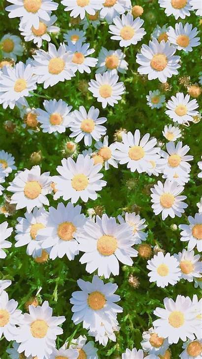 Daisy Aesthetic Flower Wallpapers Daisies Flowers Bug
