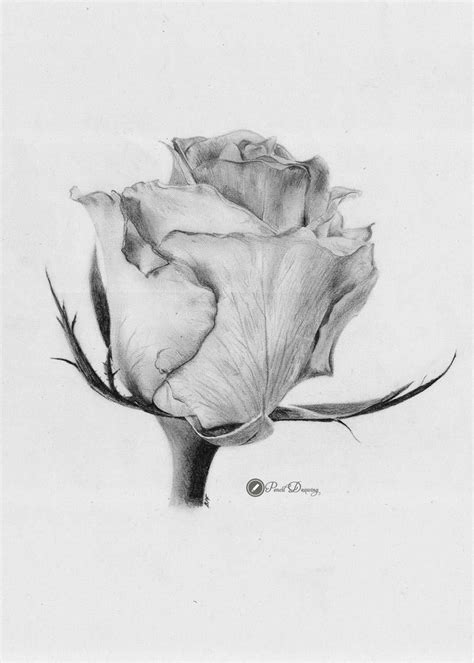 images drawn  pencil roses cute part kresby