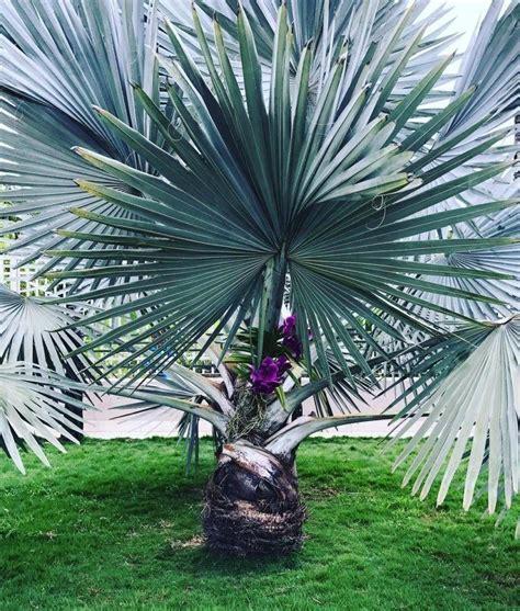 Palmeira azul: conheça essa planta cheia de charme e ...