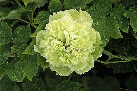 Pea Green | Green Color| Heze Xinqi Peony Export Company ...
