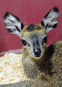 Klipspringer: the Adorable 'Rabbit' Antelope of Africa ...