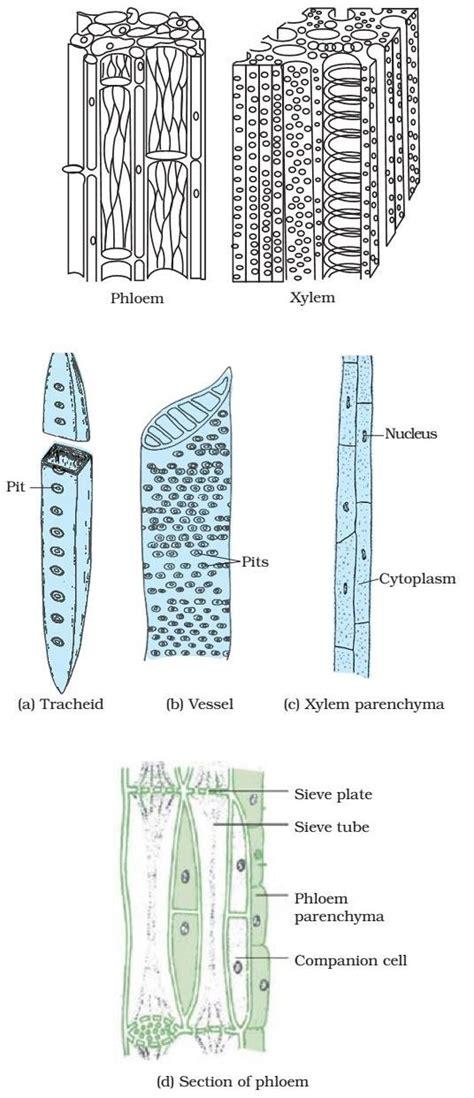 plant tissue meristematic simple complex permanent tissue