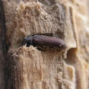 Wie Sieht Ein Holzwurm Aus : holzwurmbek mpfung bei holzwurmbefall durch holzsch dlinge ~ Articles-book.com Haus und Dekorationen