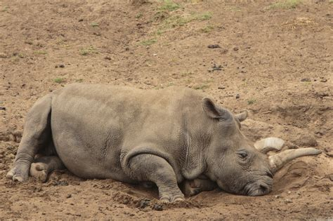test tube fertilisation save  northern white rhino