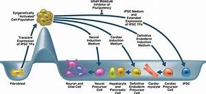 Progress in the Reprogramming of Somatic Cells ...