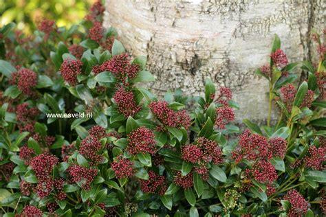 skimmia japonica rubinetta afbeeldingen en beschrijving skimmia japonica