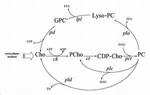 Schematic representation of phosphatidylcholine (PC ) de ...  Phosphatidylcholine