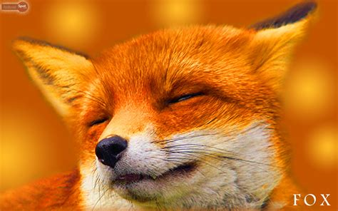 Fox Animal Wallpaper - fox wallpaper animal wallpapersafari