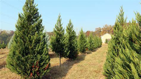 28 best south carolina christmas tree farms south