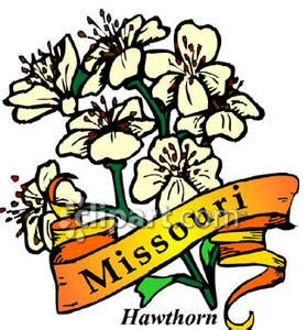 Cost Of Missouri Boating License by State Flower Of Missouri The Hawthorn Royalty Free