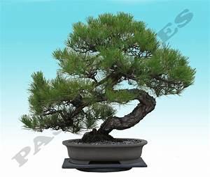 japanisch schwarz kiefer baum bonsai garten samen pinus With garten planen mit bonsai 60 cm