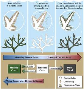 5 Diagram Of Thermal Coral Bleaching  Note  This Diagram