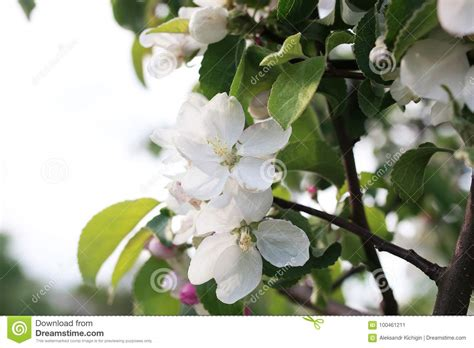 early blooming white flower tree flowering apple tree with bright white flowers stock photo image 100461211