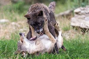 Photographer captures vicious fight between two wolves in ...