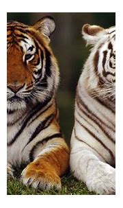 7 Facts About White Tigers - Some Interesting Facts
