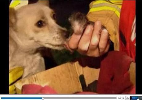 combien de portee par an pour un chat ce chien a failli br 251 ler vif pour sauver une port 233 e de chatons des flammes