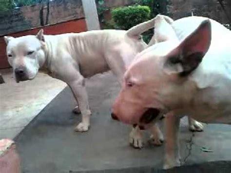 cruza pit bull  bull terrier youtube
