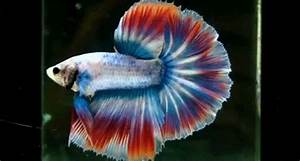 Betta Splendens GIFs - Find & Share on GIPHY