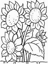 Sunflower Pages Colouring Picolour sketch template