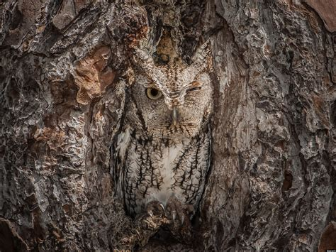Eastern Screech Owl Is Perfectly Camouflaged In Georgia