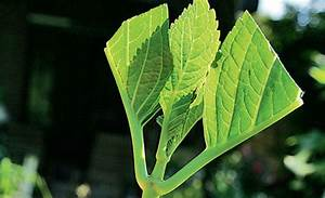 Hortensien Vermehren Wasserglas : hortensie vermehren ~ Lizthompson.info Haus und Dekorationen
