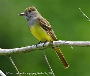Tennessee Watchable Wildlife Great Crested Flycatcher