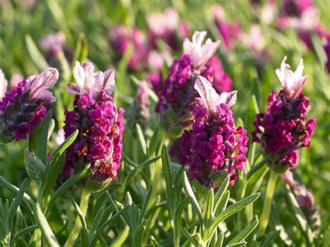 lavender plants buy lavender plants for sale buy lavender plants online us