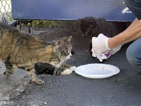stray cat trap about the nyc feral cat initiative