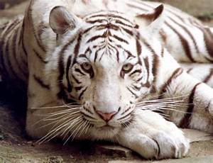 Animal Picture: Bengal tiger - white