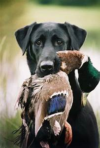 1000+ images about Jachthonden on Pinterest   Hunting Dogs ...