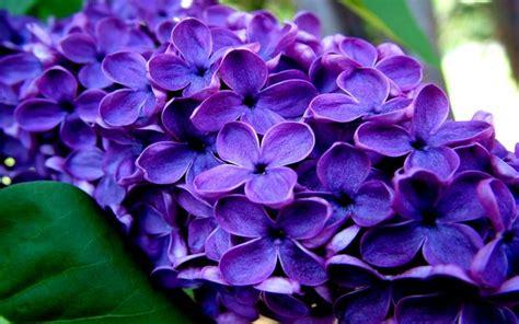 hd fragrant flowers wallpaper