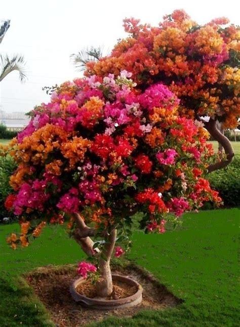 bougainvillea colors multi colored bougainvillea tree colors
