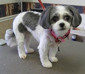 17 Best Images About SHIH TZU HAIRCUTS On Pinterest