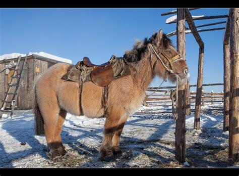 yakutian horse    yakutian horse thaken