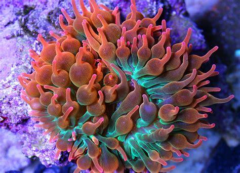 anemone reproduction sea anemone reproduction reefs