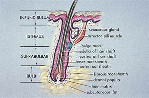 Hair Follicle Structure