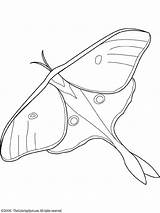Moth Luna Drawing Clipart Butterfly Wings Coloring Pages Eyespots Moon Drawings Death Sketch Winter Lunar Template Pattern Colouring Printable Realistic sketch template